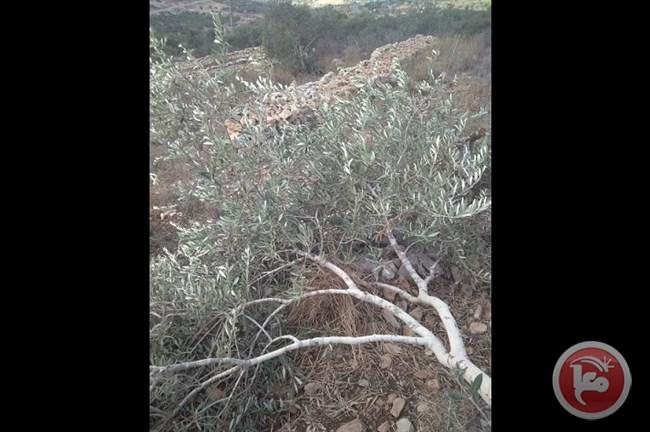 Des colons israéliens déracinent des dizaines d'oliviers dans le village de Bruqin