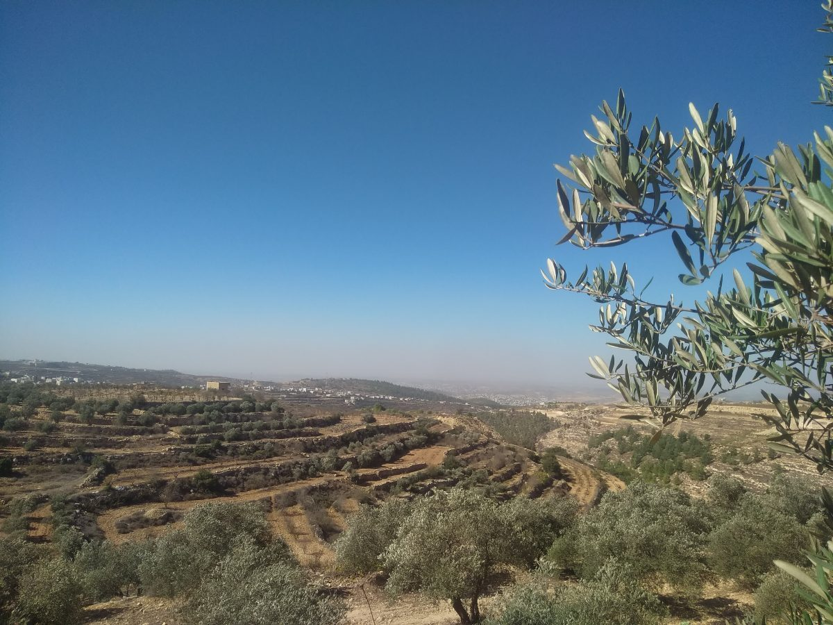 Cueillette des olives en Palestine occupée : journée du lundi 29 octobre