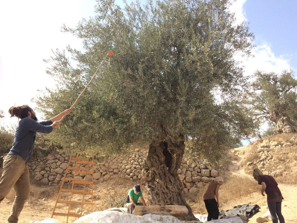 """Cueillette à Hébron, au dessus de la """"ville fantôme"""""""