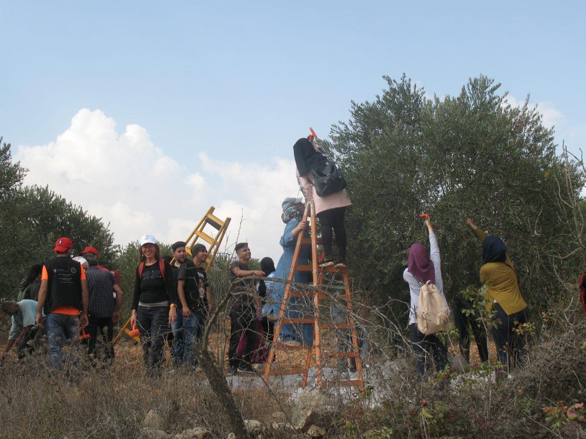Cueillette des olives à Salfit. Journées du 20 au 23 octobre