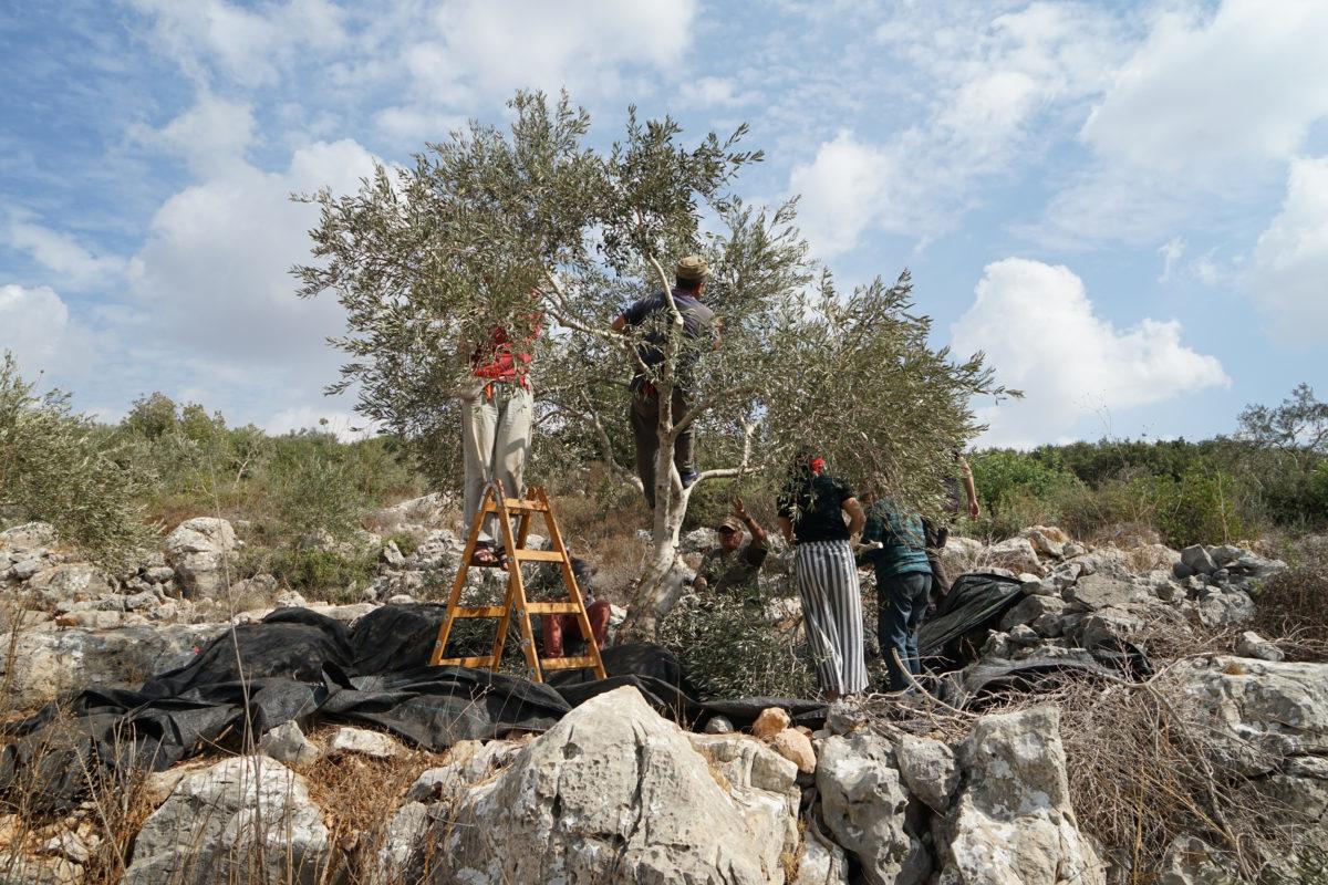 18ème campagne de cueillette des olives en Palestine occupée - Farkha, 20 Octobre