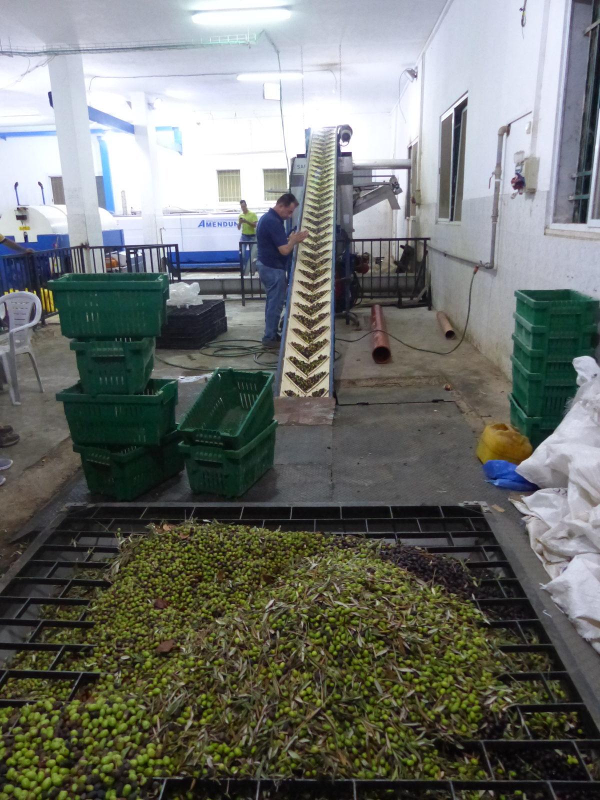 18ème campagne de cueillette des olives en Palestine occupée, Farkha le 11 octobre
