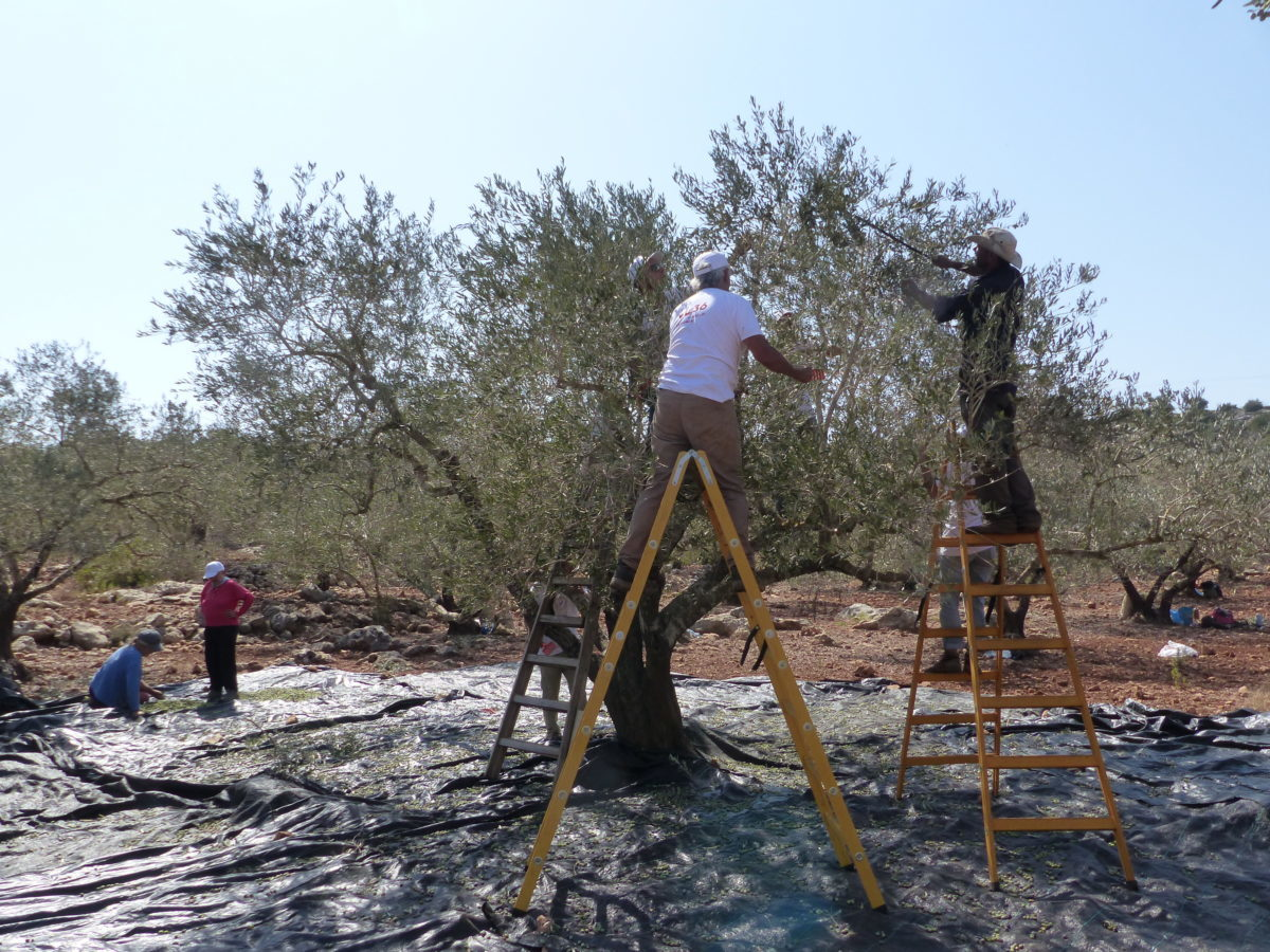 18ème campagne de cueillette des olives en Palestine occupée, Farkha, le 13 octobre