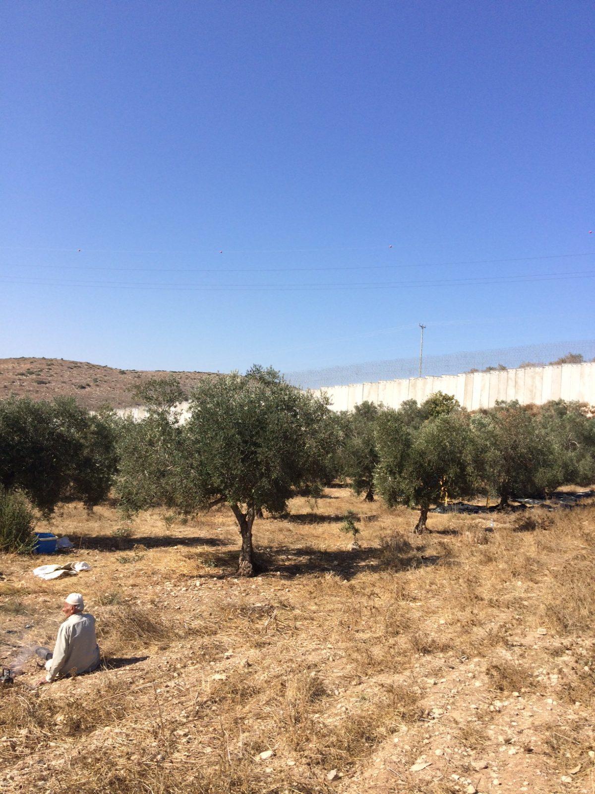 18ème campagne de cueillette des olives en Palestine occupée - Halhul, 20 Octobre
